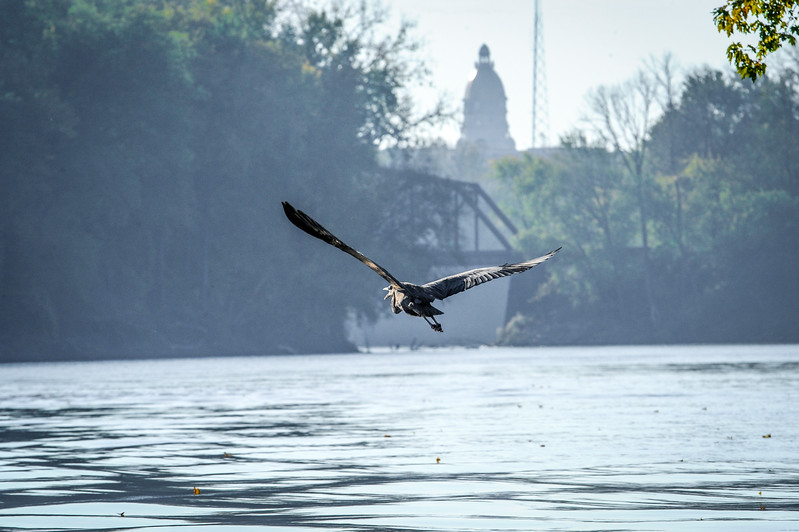 Vigo County Courthouse and Wabash River Great Blue Heron