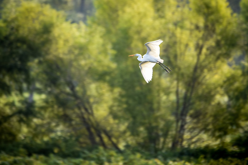 Great Egret flying over the Wabashiki Wetlands in Vigo County near Dewey Point, September 2017