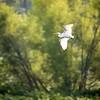 Great Egret flying over the Wabashiki Wetlands in Vigo County near Dewey Point, September 2017