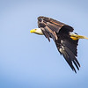 Bald Eagle over the Wabash River Wings Down