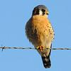Kestrel Falcon Merlin