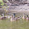 Wabash River Six Ducks on West Bank August 2017 Vigo County