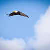 Bald Eagle over Wabash River with Clouds