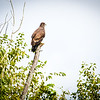 Immature Eagle on Tree Wabash River Parke Vermillion August 2017