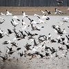 Snow Geese Birds
