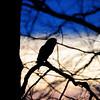 Owl at sunset Vigo County