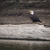 Bald Eagle on the Wabash River
