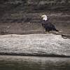 Bald Eagle on the Wabash River