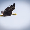 Bald Eagle over the Wabash River Wings Up with light clouds