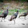 Turkeys Wabash River Bottoms Turkey