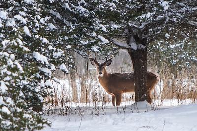 Deer - 003