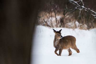 Deer - 011
