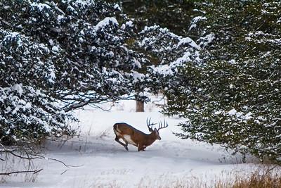 Deer - 005