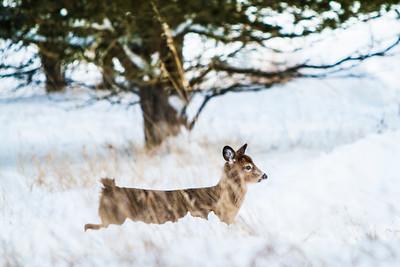 Deer - 013