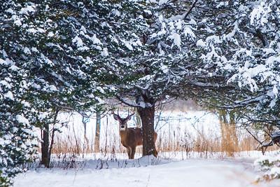 Deer - 004