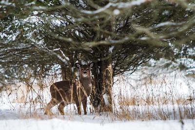Deer - 015