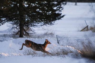 Deer - 014