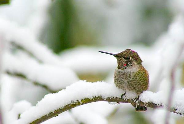 Winter Hummingbird