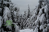 Snow Laden Fir Trees