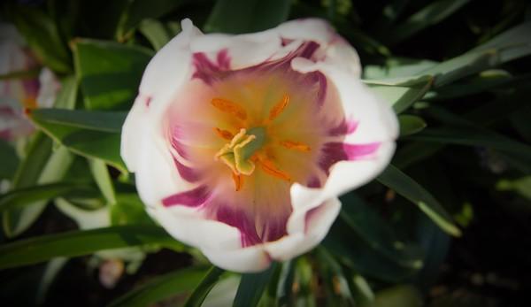 Longwood Tulips 2016