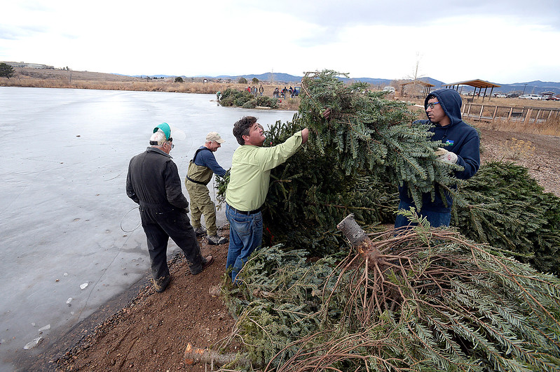 Ben Swigle with Colorado Parks and Wildlife, center, and volunteers with the Loveland Fishing Club Patrick Mikulak, far left, John Swinnup, center left, and Josh Breen, right,  work to attach recycled Christmas trees to a parking bumber with a cable Wednesday, Jan 10, 2018, in preparation of  sinking 100 recycled Christmas trees into the Bass Pond at River's Edge Natural Area in Loveland to improve fish habitat. (Photo by Jenny Sparks/Loveland Reporter-Herald)