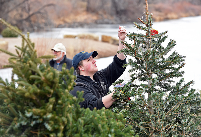 Volunteer Stone Olson removes a string from a recycled Christmas tree fWednesday, Jan 10, 2018, as he and other volunteers prepare to sink 100 recycled Christmas trees into the Bass Pond at River's Edge Natural Area in Loveland to improve fish habitat. (Photo by Jenny Sparks/Loveland Reporter-Herald)