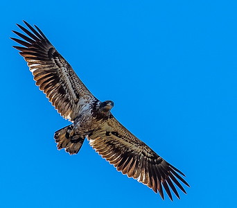 Juvenile Bald Eagle soars over the prairies at ANWR