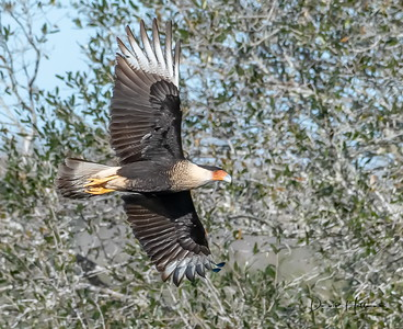 Caracara scanning the pastures below for a meal