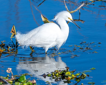 Snowy Egret freezes before attacking below the surface