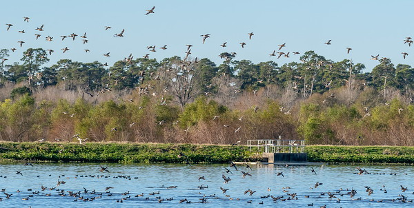 Hundreds of ducks take to the air at Cattail Marsh