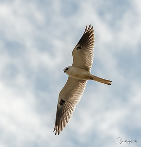 A White-tailed Kite passes over head