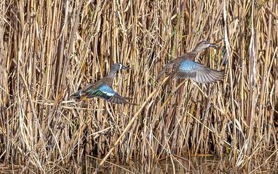Blue Winged Teal pair in flight