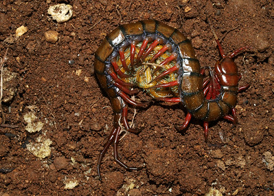 Image Title: Centipede With Babies.  Image No. p6201842b