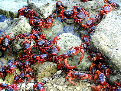 Image Title: Red Crabs At Sea.  Image No. pc180084b