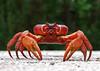 Image Title: Red Crab.  Image No. pb199168b