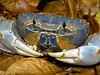 Image Title: Blue Crab.  Image No. p1090172b