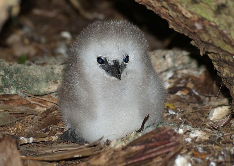 Image Title: Silver Bosun Chick.  Image No. p6090211b