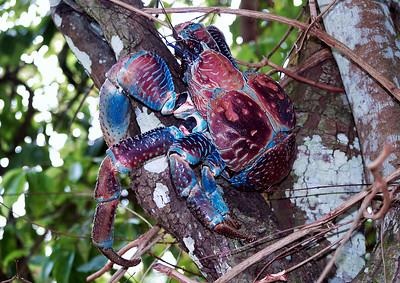 Image Title: Robber Crab.  Image No. pb033246b