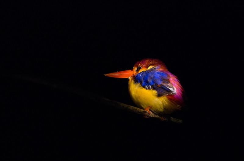 Black-backed kingfisher, Kinabatangan river.