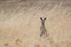 It wasn't a lie - kangaroos do exist in Australia.