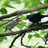 Baby Grackle being fed, Central Park