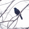 Grackle, damaged beak