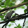Baby Grackle