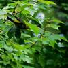 Magnolia Warbler takes flight