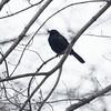 Grackle with injured beak, Central Park