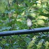 Gray-Cheeked Thrush, Central Park
