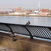 Pigeon, East River