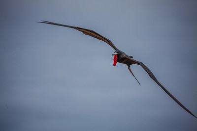 The wing span of the adult male frigatebird could easily be 7'.