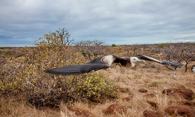 This female Frigatebird was flying right in fron of me.
