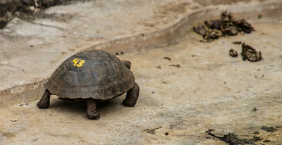 Baby Giant Tortoise taken at the Charles Darwin Research Station.